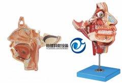 头面部血管神经模型