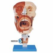 鼻、口、咽、喉腔模型