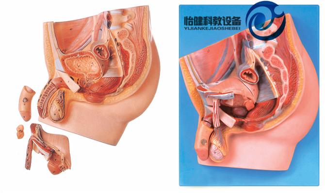 男性尿道以及男性盆腔器官等结构