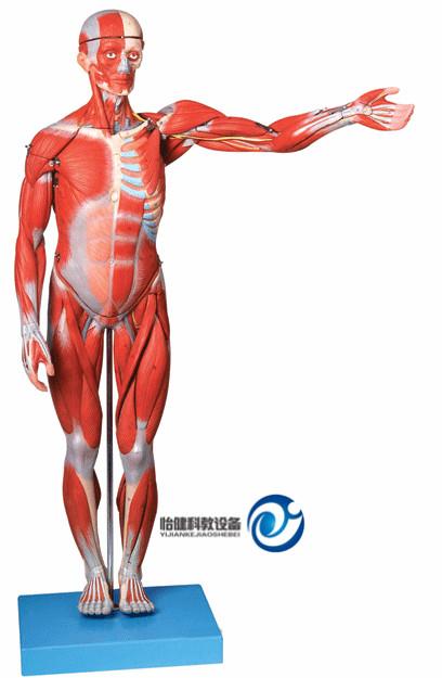 人体全身肌肉解剖模型(自然大)