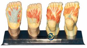 足底解剖模型