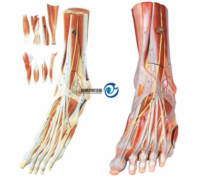 足肌附主要血管神经模型