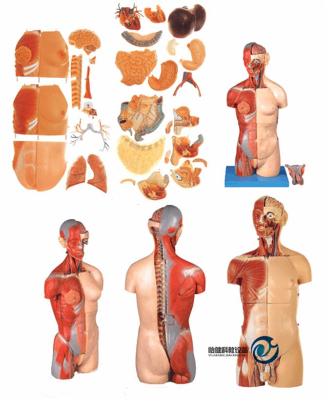 男性、女性外两性互换肌肉内脏背部开放式头颈躯干模型