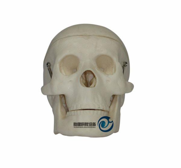 小型头骨模型