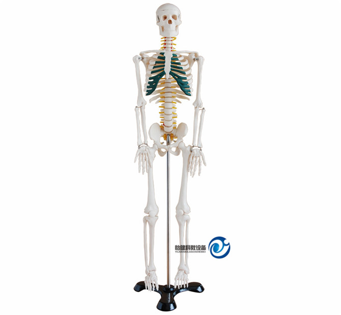 人体骨骼带神经模型85CM