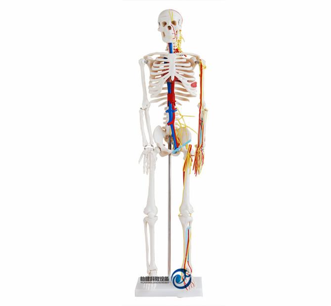 人体骨骼带心脏与血管模型85CM