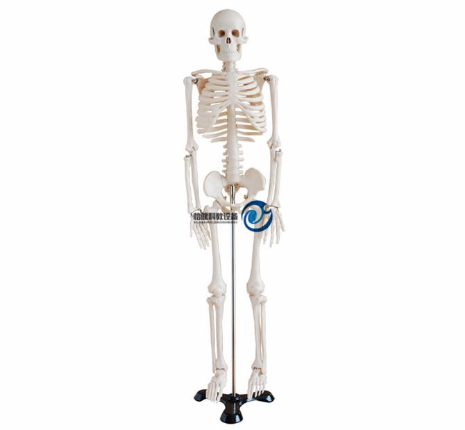 人体骨骼模型85CM